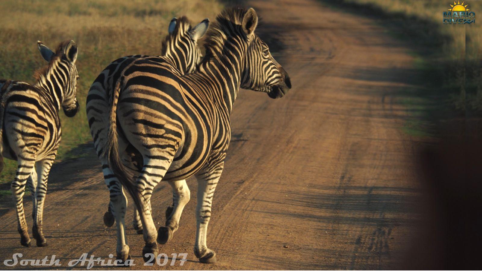 zebra damarska (Equus q. burchelli)